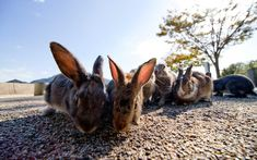 Ōkunoshima, Japan | From Pig Island in the Bahamas to islands home to thousands of thousands, these are the best animals islands to visit around the world. Bunny Island, Pig Island, Rabbit Island, Resorts, Types Of Penguins, Pig Beach, Penguin Species, Wild Rabbit, Cat Run