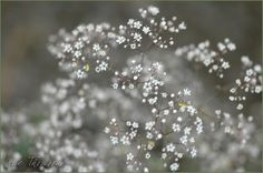 Google Image Result for http://weedsandwildflowers.info/images/Babys-Breath-DSC_3678.jpg  but maybe shouldn't like this one.  pic links to weedsandwildflowers.info.