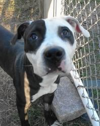 0907 - Harrison is an adoptable Pit Bull Terrier Dog in Bridgeport, CT. Impound 907 Harrison This year old male is super social, fun, outgoing, friendly... he is confident and loves life... He was giv...