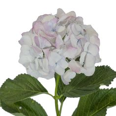THESE HYDRANGEAS ARE NATURAL A BRILLIANT SHADE OF ANTIQUE PINK, OFFERING THE POSSIBILITIES TO CREATE FABULOUS CENTERPIECES, BOUQUETS, OR ANY FLORAL DECOR.  #bloomingmore #farmfreshflowers #freshflowers #flowers #flower #farmfresh #farmdirectflowers #farmdirect #bloom #blooms #hydrangea #hydrangeas #vibrantcolors #petals #hydrangeapetals #centerpieces #weddingflowers #WeddingInspiration #DIYwedding #weddingflowers #elegantwedding #wed #wedding #weddings #romanticweddings White Hydrangeas, Birthday Party Themes, Baby Showers, Shrubs, Planting Flowers, Flower Arrangements, Bouquets, Blue Green, Centerpieces