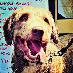 Spanish water dog, Cannon beach