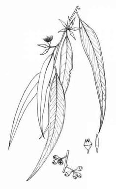 New flowers wreath drawing 37 ideas Botanical Tattoo, Botanical Drawings, Botanical Art, Feuille Eucalyptus, Australia Tattoo, Cherub Tattoo, Australian Flowers, Leaf Illustration, Wreath Drawing