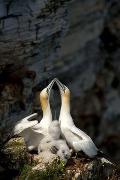 Gannets @Bempton_Cliffs