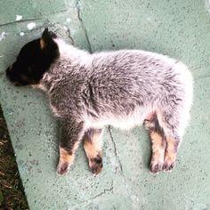 Little sheepy ❤