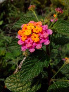 Lantana camara paipa flowers