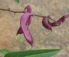 Purple Hyacinth Bean - Even the pods are beautiful!