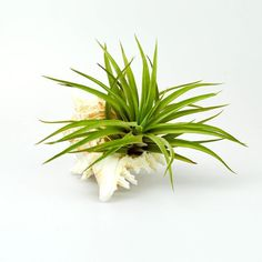 This discrete and refreshing, simple but elegant decorations are perfect pieces for your home or office! #tillandsia #etsy #etsyseller #etsyshop #shopping #shop #plant #plants #homedecor #homedecoration #decoration #love #beautiful #unique #pictureframe #terrarium #gift #idea #interiordesign #airplant #airplants #green #greenlife #luftpflanze #pflanze #wohnenidee #idea #tabledcoration #seashell #plant #plants #planter #planters
