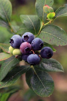 Blueberry picking in VT