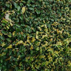 Climbing-Ficus-Hedge
