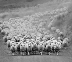 Ian@NZFlickr. Sie Kommen. The advance of the lady sheep.