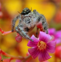 \\oOOo// by bug eye :), via 500px; Jumping spider, Thaliand