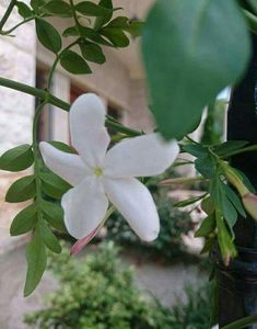 Jasmine Plant, Love Rose, Different Flowers, Homescreen, Horticulture, Garden, Damascus, Syria, Watches
