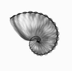Argonauta hians Shell