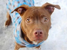 TO BE DESTROYED THURS 2/27 9 MONTH OLD BABY! Manhattan Center  SIMBA - A0991794  MALE, TAN / WHITE, PIT BULL MIX He's an adorable, playful and funny wee scamp who's destined to become a truly majestic adult! Gives friendly hugs and chases a ball with abandon! https://www.facebook.com/photo.php?fbid=759727037373511set=a.611290788883804.1073741851.152876678058553type=1theater