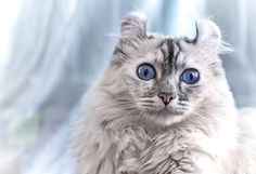 If you're looking to have the most unique cat in the neighborhood, look no further than the American Curl cat. Some may deem the American Curl to be an Lykoi Cat, Singapura Cat, American Wirehair, American Bobtail, Rare Cats, Cats And Kittens, Cats Meowing, Tabby Cats, Cute Kittens