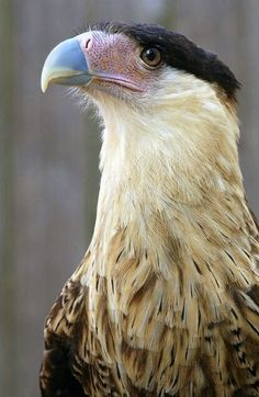 Crested Caracara - is a Bird of Prey - Raptor. The caracara is a sub-species…