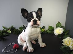SOLD- French Bulldog Puppy. Life-size Handmade Needle Felted Wool Sculpture on Etsy, $450.00
