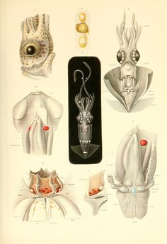 This lovely illustration—featuring dissections of the head, funnel, mantle and eye of a Thaumatolampas diadema—comes from The Cephalopoda Part I: Oegopsida and Part II: Myopsida, Octopoda Atlas written in 1910 by zoologist Carl Chun following a German expedition to the Indian, Atlantic and Great Southern oceans.