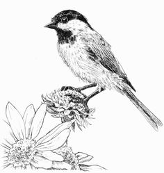A little pen and ink drawing. I didn't finish the flower at the bottom because it is supposed to rest in the bottom left hand corner of the paper. Chickadee, Pen and Ink Bird Pen, Animal Drawings, Pen Art, Scratchboard Art, Bird Sketch, Pen Sketch, Ink Drawing, Art, Bird Drawings