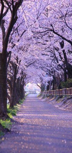 Path, Cherry Blossoms, Kyoto, Japan