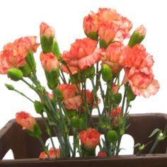 orange mini carnation