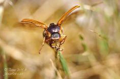 #Escarabajo llamativo en #Segovia #Macro #volando