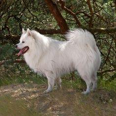 Our Dog: White Spitz (wittekeeshond.nl)
