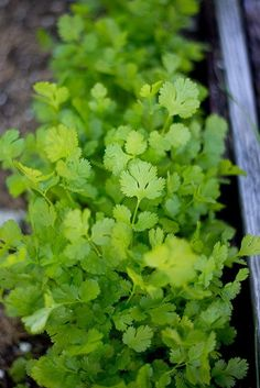 A lovely cilantro with nice big meaty leaves, Caribe emphasizes bolt tolerance. It has a nice, fresh, difficult to describe flavor that we have all come to appreciate. High yielding over an extended p