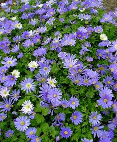 Anemone blanda Blue Shades - Native to Greece circa 1854, Blue Shades yields happy little daisy-like, shades of hyacinth-blue flowers with yellow centers on wiry stems above fern-like foliage. Commonly known as the Grecian Windflower, it prefers to be planted in organically rich, well-draining soil in full to partial sunlight. Deer- and rodent-resistant, Anemone blanda makes an attractive ground cover in border plantings or as an underplanting beneath contrasting Hyacinths, Tulips or…