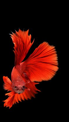 Having owned quite a few of these elegant creatures, I was thrilled to see the quite colorful, or sometimes all white, beauty of the Siamese fighting fish or Betta captured through photography. Colorful Fish, Tropical Fish, Freshwater Aquarium, Aquarium Fish, Poisson Combatant, Carpe Koi, Fish Wallpaper, Gold Wallpaper, Siamese Fighting Fish
