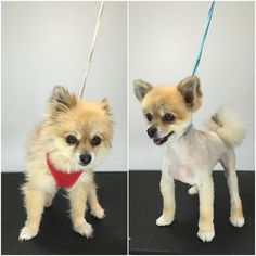 Precious #pomchi #terasgrooming #pomchilove #happydog #terastreats