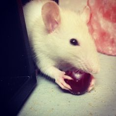Great rat diet & pet care tips! (image by #ameliabartlettphotography via #instagram. #wintertherat