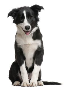 border collie 4 months - Google Search