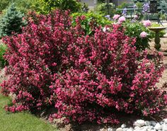 Height: m feet) Spread: m feet) Bloom: deep rosy pink, funnel shaped Exposure: full sun Foliage: brownish purple Pluses: long bloom, foliage colour, no pests Weigela are an old-fashioned plant but newer varieties are showing up … Read Planting Shrubs, Garden Shrubs, Flowering Shrubs, Landscaping Plants, Outdoor Landscaping, Trees And Shrubs, Front Yard Landscaping, Garden Plants, Outdoor Gardens