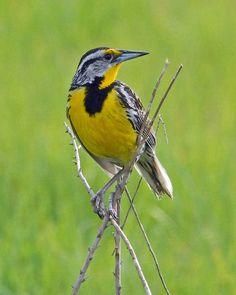 Eastern Meadowlark -- the song of a meadowlark always makes me smile