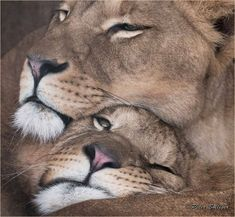 Lion Images, Lion Pictures, Lion And Lioness, Lion Of Judah, Beautiful Lion, Animals Beautiful, Animals And Pets, Cute Animals, Lion Couple