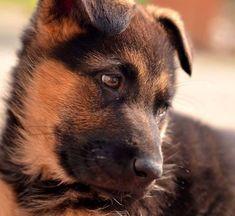 German Shepherd puppy wants to play!