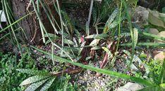Ledebouria socialis Plants, Plant, Planets