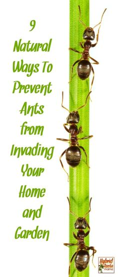 Do you have ants in your pants? Of course not! But you might have them in your home and garden area. Learn how to prevent ants from invading your living spaces with these 9 natural and cost effective products from HybridRastaMama.com. #pestcontrol #ants #bugspray #greenliving via @hybridrastamama