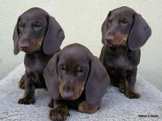 mini dachshunds -- love the chocolate!!!