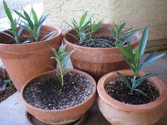 Toto urobte na jar a oleander doslova prepukne do kvetu: Celé leto nevyschne a je najkrajší za celé roky - puky nahadzuje už skoro na jar!