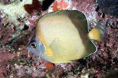 Chaetodon nippon -  Japanese butterflyfish