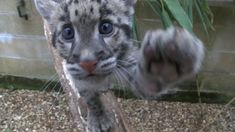 A rare clouded leopard has been hand-reared in the bathroom of a zookeeper after she was rejected by her mother.
