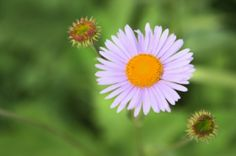 """Caring for a Hardy Aster - gardens.com  Soil Requirements - Asters prefer well-drained soil, slightly alkaline to acidic, depending on the variety. TIP: Susan adds, """"Hardy asters prefer sandy soil."""""""