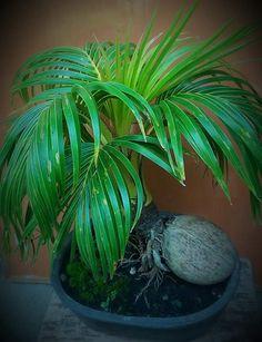 Bonsai Art, Bonsai Garden, Ornamental Plants, Bean Salad, Ikebana, Coconut, Ideas, Plants, Bean Salads