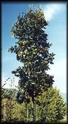 Ulmo se desarrolla entre la provincia de Arauco en la Región del Bío Bío y la Provincias de Chiloé y Palena, Región de los Lagos, constituyendo un árbol de importancia notable en los bosques siempreverdes desde Valdivia hasta la isla de Chiloé.