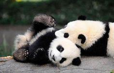 snuggling pandas