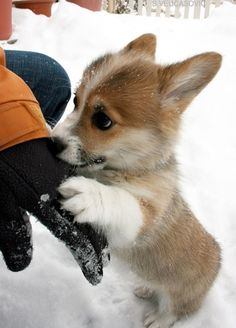 Omigawd. Tiny baby dawg. Possibly corgi? *squoogles*