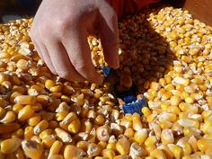 For the Sand/Water table in Fall!->Corn sensory tub