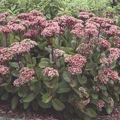 Sedum hybridum 'Matrona'. Komeamaksaruoho